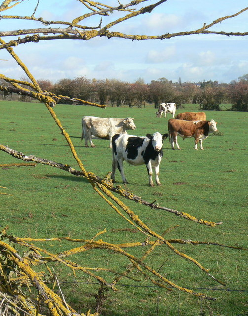 Cows and Lichen