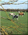 SK6130 : Cows and Lichen by Alan Murray-Rust