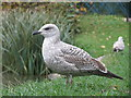 TQ8110 : Gull at Alexandra Park by Oast House Archive