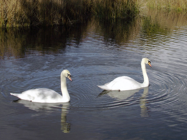 Swans in Baggeridge Country Park near Wombourne, Staffordshire