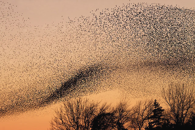 NY3168 : A murmuration of starlings at Gretna by Walter Baxter