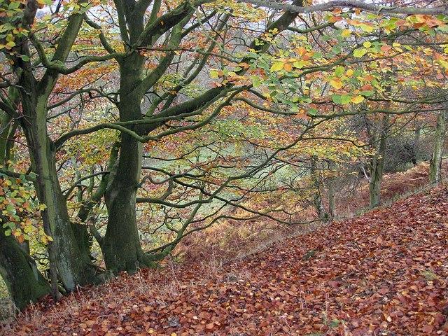 Leafy carpet, Rosedale, mid-Autumn