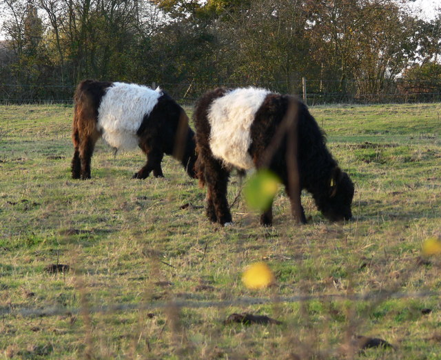 Belted Galloway Cattle http://www.geograph.org.uk/photo/2690570