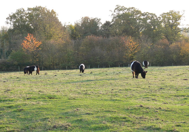 Belted Galloway cattle at Newton Harcourt