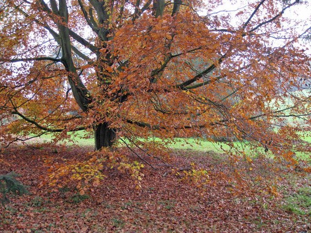 Beech tree beside the South Lake