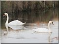 TQ8914 : Swans on Royal Military Canal by Oast House Archive