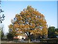 SP2979 : Broad Lane oak by E Gammie