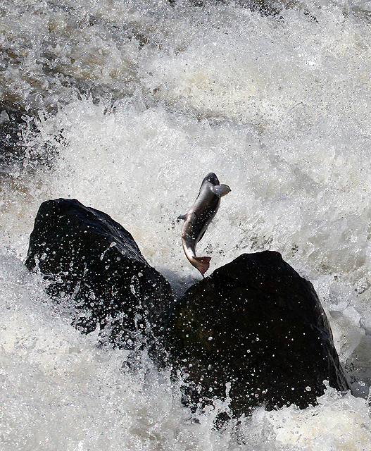 A leaping salmon at Murray's Cauld near Selkirk