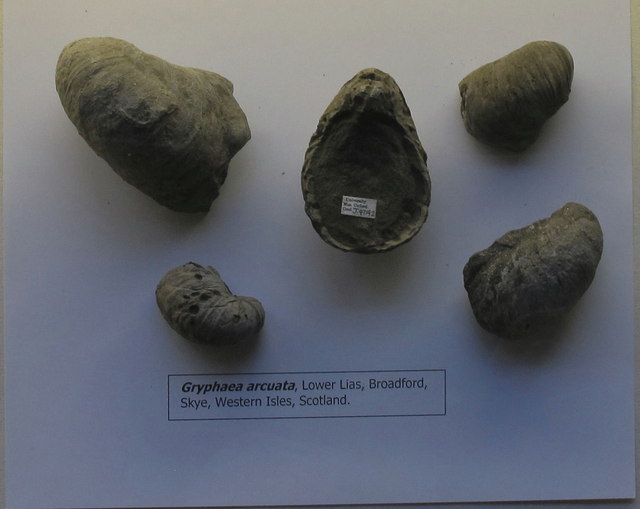 Devil's toenails (fossil oysters), Oxford University Museum of Natural History
