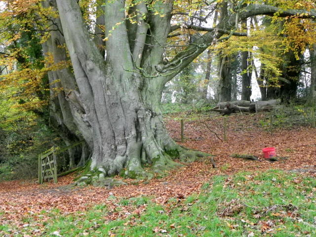 Beech tree, Fonthill Estate