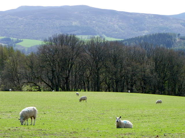 Sheep near Blairchroisk