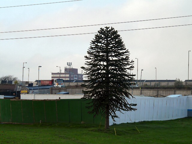 Hattersley Monkey Puzzle Tree