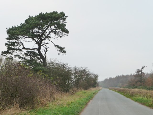 Pine tree alongside Swang Road