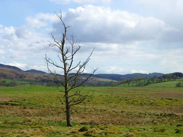 Lone tree near Tulliemet