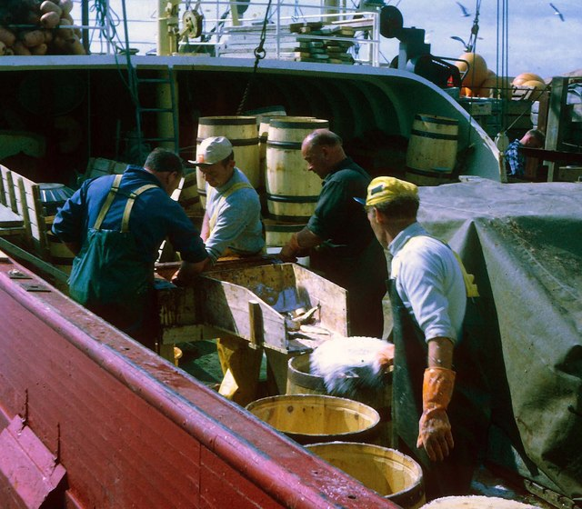 Norwegian klondykers salting herring prior to packing