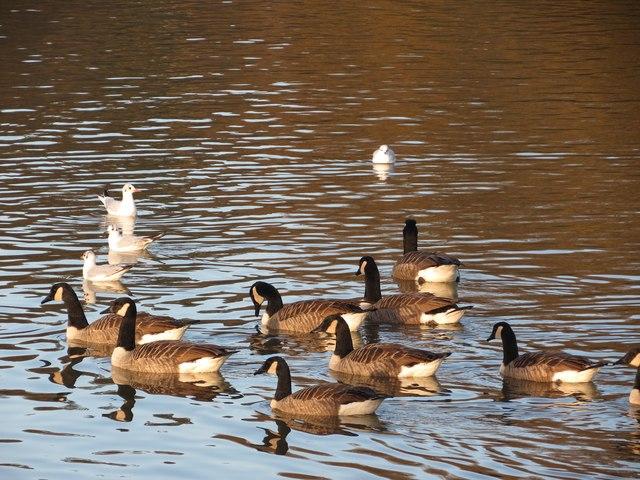 Canada geese at Dunorlan Park