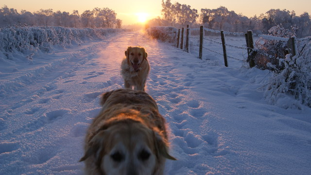 Golden retrievers in the snow, Derrycarne Road