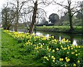 TL6857 : Daffodils alongside Moat at Kirtling Towers by ethics girl