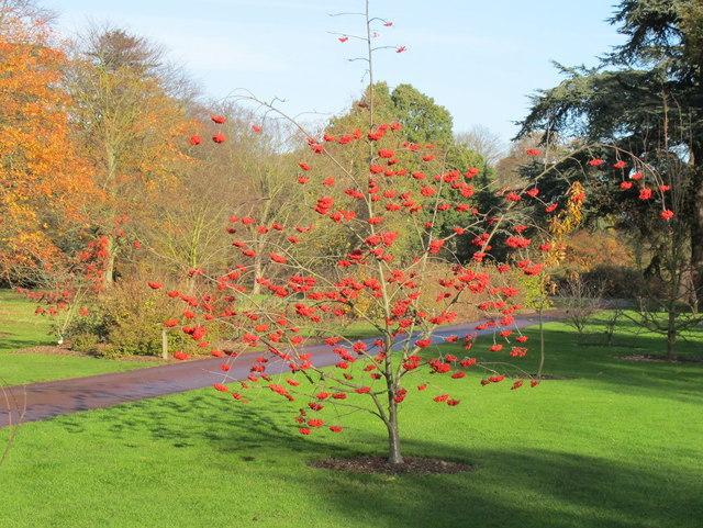 Sorbus X Kewensis in Kew Gardens