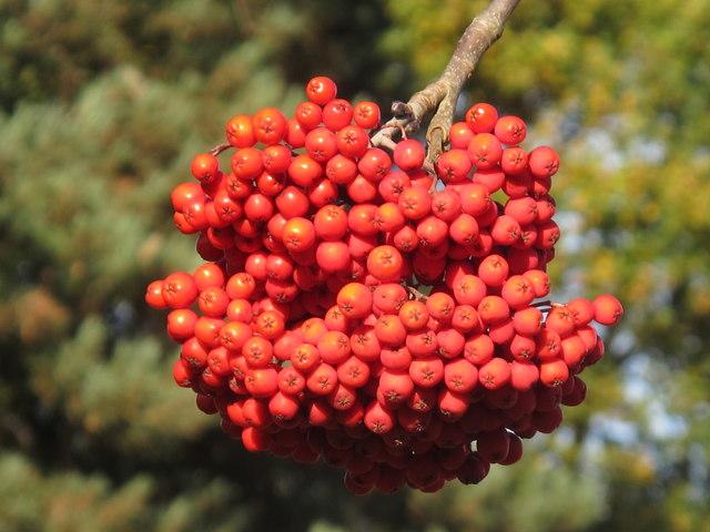 Berries of Sorbus x kewensis, Chinese rowan, Kew Gardens