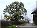 SE3630 : Large tree, The Avenue, Newsam Green by Christine Johnstone