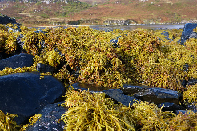 Seaweed on the rocky foreshore, Diubaig