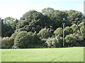 SX9373 : Holm oaks on the A379 embankment, Teignmouth by Robin Stott