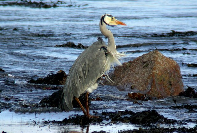 Grey Heron at Raghly