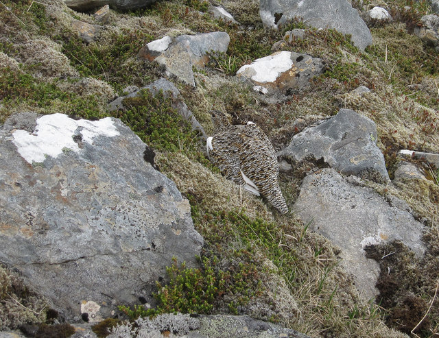 Female Ptarmigan on An Coileachan