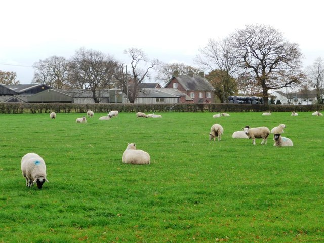 Sheep grazing south of Townfield Lane