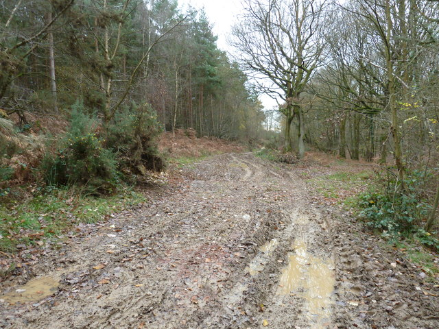 Forestry track in Somersbury Wood