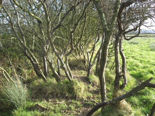 Weatherbeaten Old Sloe bushes look attractive in a winter landscape
