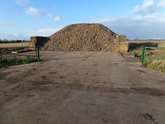 Sugar beet heap on Middle Drove, Gedney Dyke