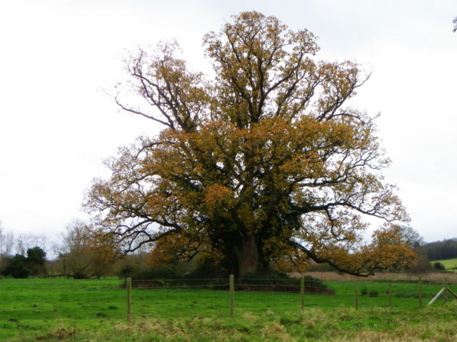 Oak Tree, Avonside