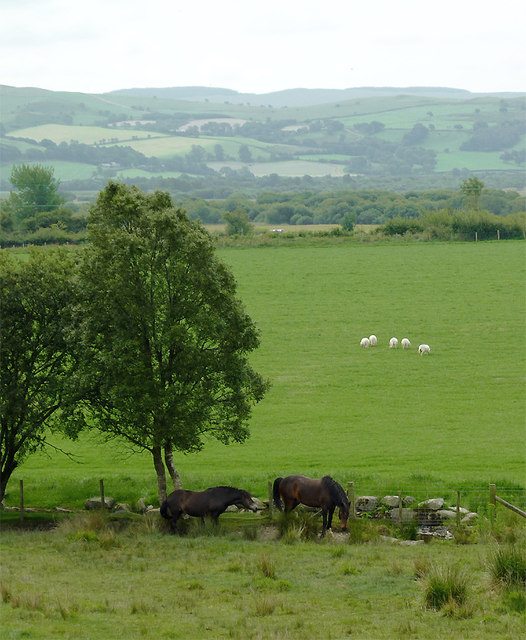 Grazing south of Ystradmeurig, Ceredigion