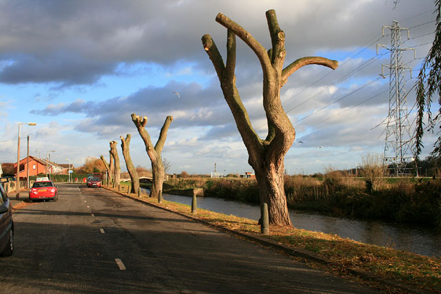 Newly pollarded willows on Canal Side