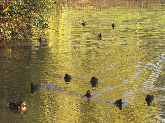 Ten moorhens (and a duck)