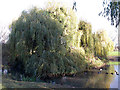 TQ3677 : Willows in Folkestone Gardens by Stephen Craven
