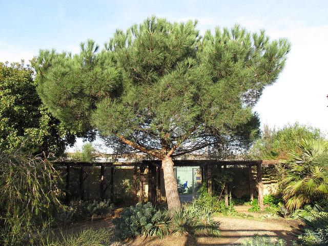 Chumleigh Gardens: pine tree