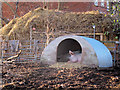 Two large sows sleeping in their sty at Surrey Docks City Farm.