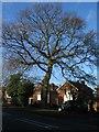 SP2979 : Oak, Broad Lane by E Gammie