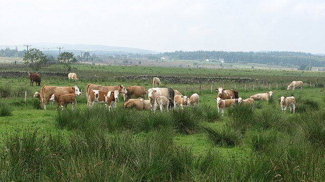 Cattle, Burnhead