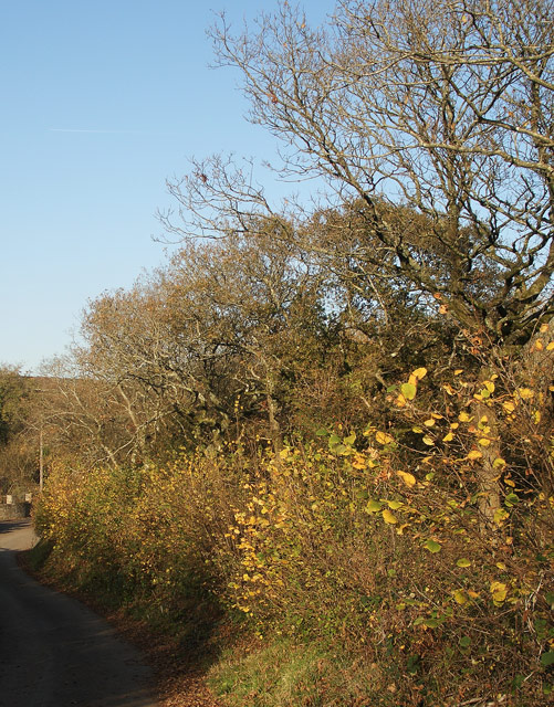 Autumnal hedge and trees beside Bedford Road, Cefn Cribwr