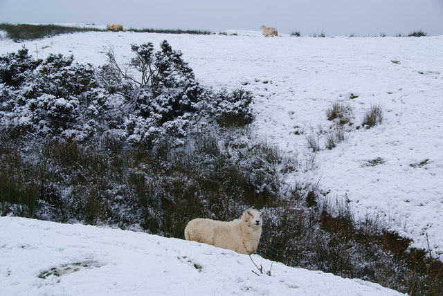Sheep unfazed by the winter
