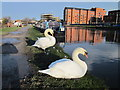 SJ4066 : Swans by the Shropshire Union by Jeff Buck