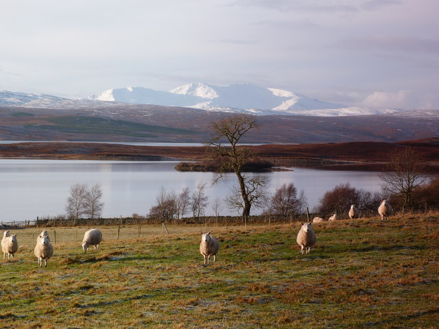 Sheep at Shinness, Loch Shin