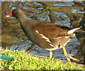 TQ2382 : Moorhen by the Paddington Arm, Grand Union Canal by David Hawgood