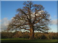SP3080 : Oak tree, Allesley Park by E Gammie