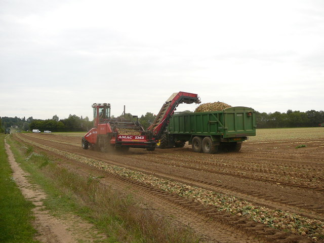 Gathering in the onion harvest at Bures