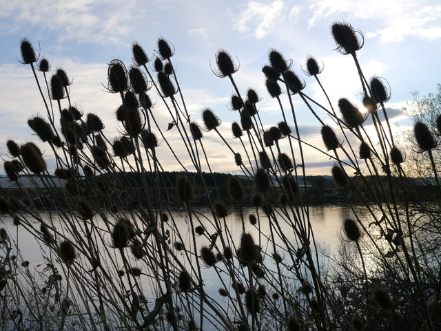 Tweedside Teasel